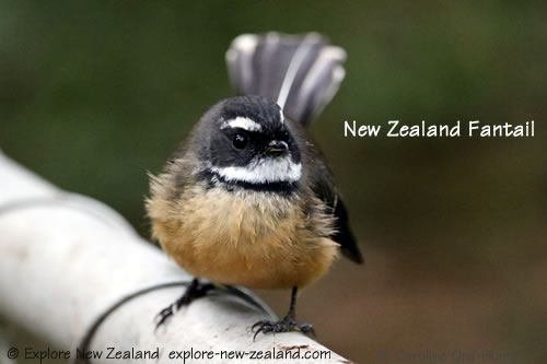 New Zealand Fantail, wet from bathing in a stream, pied morph, North Island NZ