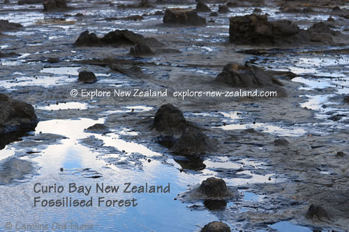 Tree Stumps of a Petrified Forest Fossilised at Curio Bay, Catlins, Southland, New Zealand
