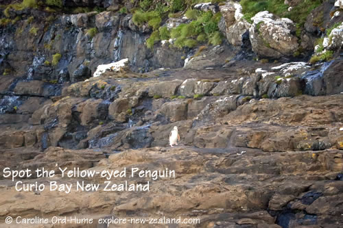 Yellow-eyed Penguin / hoiho Walking to it's Cliffside Nest in the Afternoon at Curio Bay, Catlins, NZ