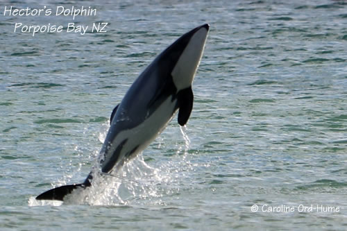Hector's Dolphin Jumping out of the Water at Porpoise Bay New Zealand
