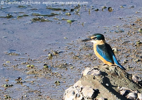 New Zealand Kingfisher on a Rock Hunting for Crabs
