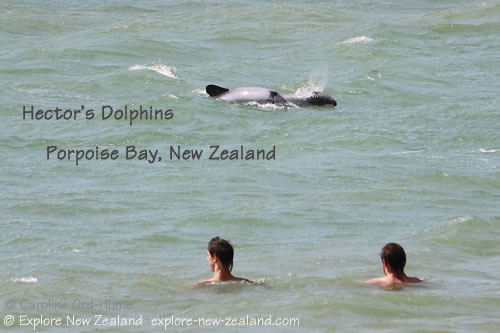Hector's Dolphins Swimming Near Two Men in Porpoise Bay, Southland, New Zealand