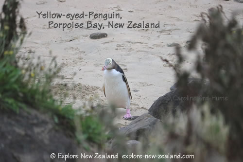 Yellow-eyed Penguin on the Beach at Porpoise Bay, Southland, New Zealand