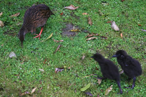 Weka Bird with Young in South Island New Zealand
