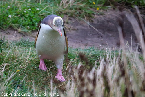 Yellow-eyed Penguin waking up hill to nest in the evening, hoiho. Porpoise Bay beach, South Island, New Zealand