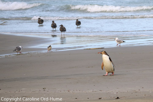 Yellow-eyed Penguin, hoiho, coming up the beach returning to its chick after a day fishing out at sea, Otago Peninsula, Dunedin, South Island, New Zealand