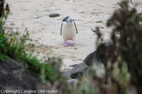 Hoiho Yellow-eyed Penguin on the beach at Porpoise Bay, South Island, New Zealand