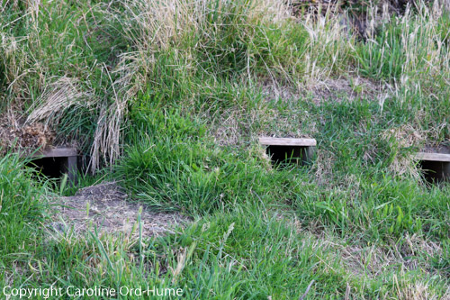 Yellow-eyed Penguin Nest Box Conservation Project, Elm Wildlife Tours, Otago Peninsula, Dunedin, South Island, New Zealand