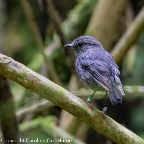 North Island Robin Petroica longipes, native birds at Zealandia, Wellington, New Zealand