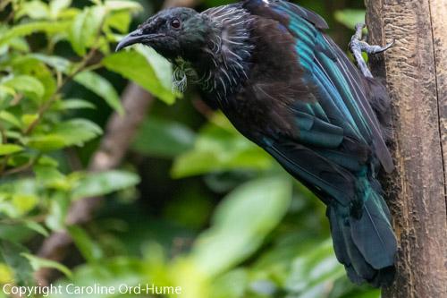 Tui Prosthemadera novaeseelandiae, native bird at Zealandia Urban Ecosanctuary, Wellington, New Zealand